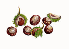Illustration of Conkers, Horse Chestnuts. Stock Images