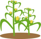 Illustration of corn plant Royalty Free Stock Photo