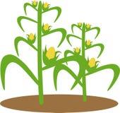 Illustration of corn plant stock illustration