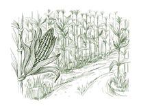 Illustration of cornfield grain stalk sketch. Hand drawn vector illustration sketch cornfield with a road between fields Royalty Free Stock Photos