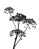 Illustration on Cow Parsley. Black and white vector of cow parsley Royalty Free Stock Photo