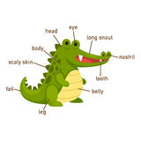 Illustration of crocodile vocabulary part of body. Vector Stock Photos