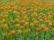 Illustration. Cross stitch. Field  tulips. Illustrations. Cross-stitch. Field of bright yellow and red tulips Stock Photos