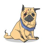 illustration of cute pug with chopped off ears, large collar and scar in color. Illustration of small dog sitting Stock Photos