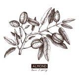 Illustration d'amande de vecteur Croquis tiré par la main d'arbre d'écrou Calibre botanique de conception Dessin tonique d'usine  illustration libre de droits