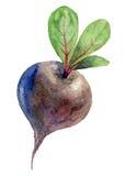 Illustration d'aquarelle betteraves Image stock