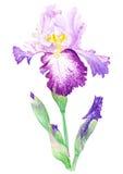 Illustration d'aquarelle d'iris Images libres de droits