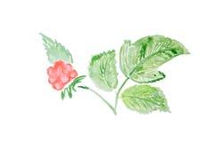 Illustration d'aquarelle d'une framboise Photos stock