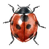 Illustration d'aquarelle de coccinelle, d'isolement sur le blanc Image libre de droits