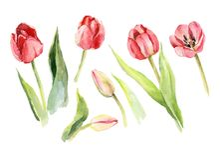 Illustration d'aquarelle de fleur de tulipe illustration stock