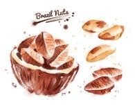 Illustration d'aquarelle de noix du brésil Images stock