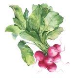 Illustration d'aquarelle de radis frais Image libre de droits