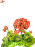 Illustration d'aquarelle des fleurs rouges de géranium, conception de carte vierge d'invitation, le calibre Photo libre de droits