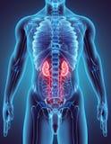 illustration 3D av det urin- systemet Royaltyfri Fotografi