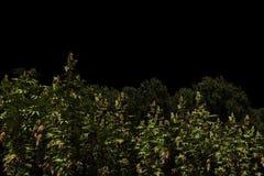 illustration 3d av ett marijunafält Arkivfoton