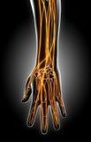 illustration 3D av handnervsystemet Arkivbild