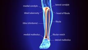 illustration 3D av mänskliga skelett- tibia- och Fibulaben Royaltyfria Foton