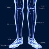 illustration 3D av mänskliga skelett- tibia- och Fibulaben Royaltyfri Bild