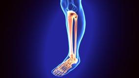 illustration 3D av mänskliga skelett- tibia- och Fibulaben Arkivfoton