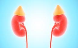 illustration 3D d'appareil urinaire, concept médical Images stock