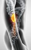 illustration 3D d'appareil urinaire, concept médical Image stock