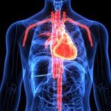 illustration 3d de l'anatomie de coeur de corps humain illustration libre de droits