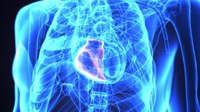 illustration 3d de l'anatomie de coeur de corps humain illustration de vecteur