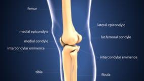 illustration 3d de l'anatomie commune désireuse squelettique d'os illustration stock