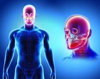 illustration 3D de l'anatomie de crâne - une partie de squelette humain Image stock