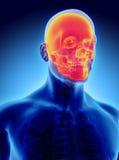 illustration 3D de l'anatomie de crâne - une partie de squelette humain Illustration Libre de Droits