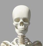 illustration 3D de l'anatomie de crâne - une partie de squelette humain Photographie stock libre de droits