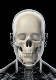 illustration 3D de l'anatomie de crâne - une partie de squelette humain Photos libres de droits
