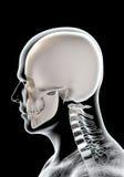illustration 3D de l'anatomie de crâne - une partie de squelette humain Image libre de droits