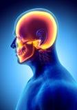 illustration 3D de l'anatomie de crâne - une partie de squelette humain Photo libre de droits