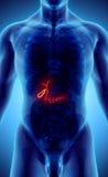 illustration 3D de la vésicule biliaire masculine Photos libres de droits