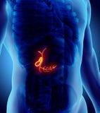 illustration 3D de la vésicule biliaire masculine Photographie stock