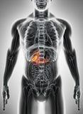 illustration 3D de la vésicule biliaire masculine Images libres de droits