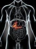 illustration 3D de la vésicule biliaire masculine Photo stock