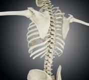 Illustration 3d der menschlichen Skelettrückseite Stockfotografie