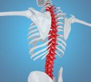 Illustration 3d der menschlichen Skelettrückseite Stockbilder