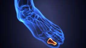 Illustration 3d der skeleton Fußknochenanatomie Stockbild