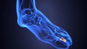 Illustration 3d der skeleton Fußknochenanatomie Stockfoto