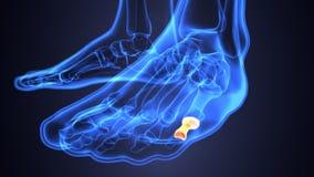 Illustration 3d der skeleton Fußknochenanatomie Stockfotos