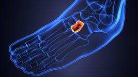 Illustration 3d der skeleton Fußknochenanatomie Stockbilder
