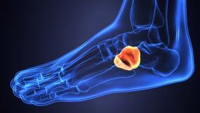 Illustration 3d der skeleton Fußknochenanatomie Lizenzfreies Stockfoto
