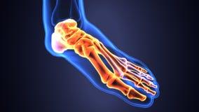 Illustration 3d der skeleton Fußknochenanatomie Lizenzfreie Stockbilder