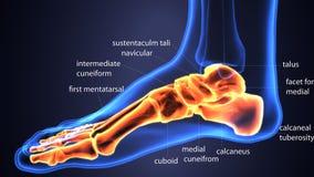 Illustration 3d der skeleton Fußknochenanatomie Stockfotografie