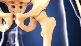 Illustration 3d der skeleton Hüftenknochenanatomie Lizenzfreie Stockbilder