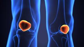 Illustration 3d der skeleton Hüftenknochenanatomie Stockfoto