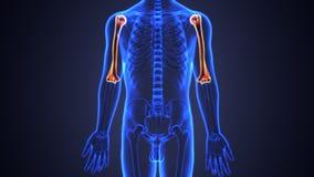 Illustration 3d der skeleton Humerusknochenanatomie Stockfotografie